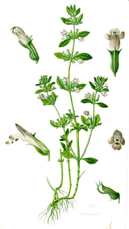 Diccionario online de las plantas medicinales for Ajedrea de jardin
