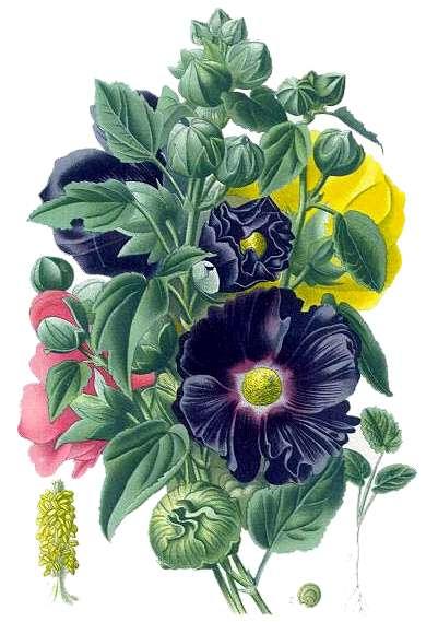 Diccionario online de las plantas medicinales for Malvarrosa planta