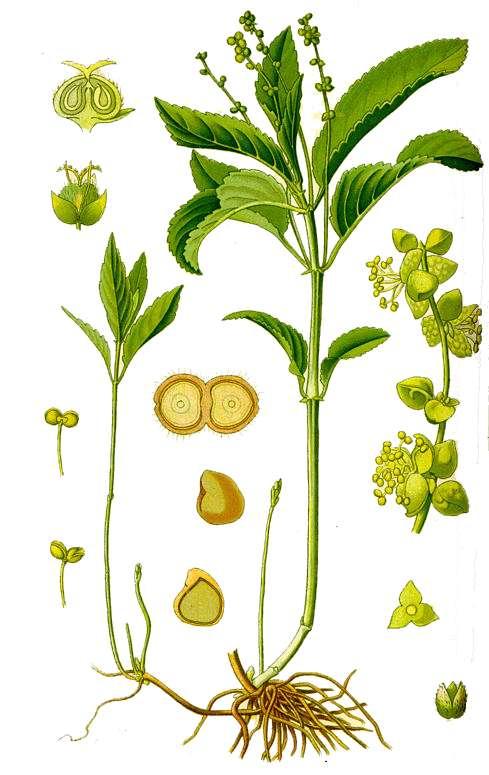 Partes de la planta sin nombres - Imagui